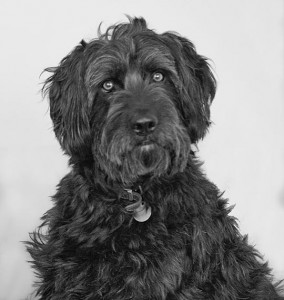 Picture of large black hairy dog.