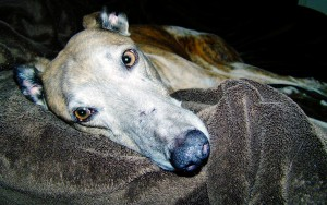 DOG GREYHOUND